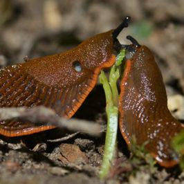 Dræbersnegle – haveejernes største plage