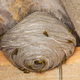 Vind over hvepsene