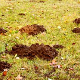 Sådan bekæmper du muldvarpe i haven